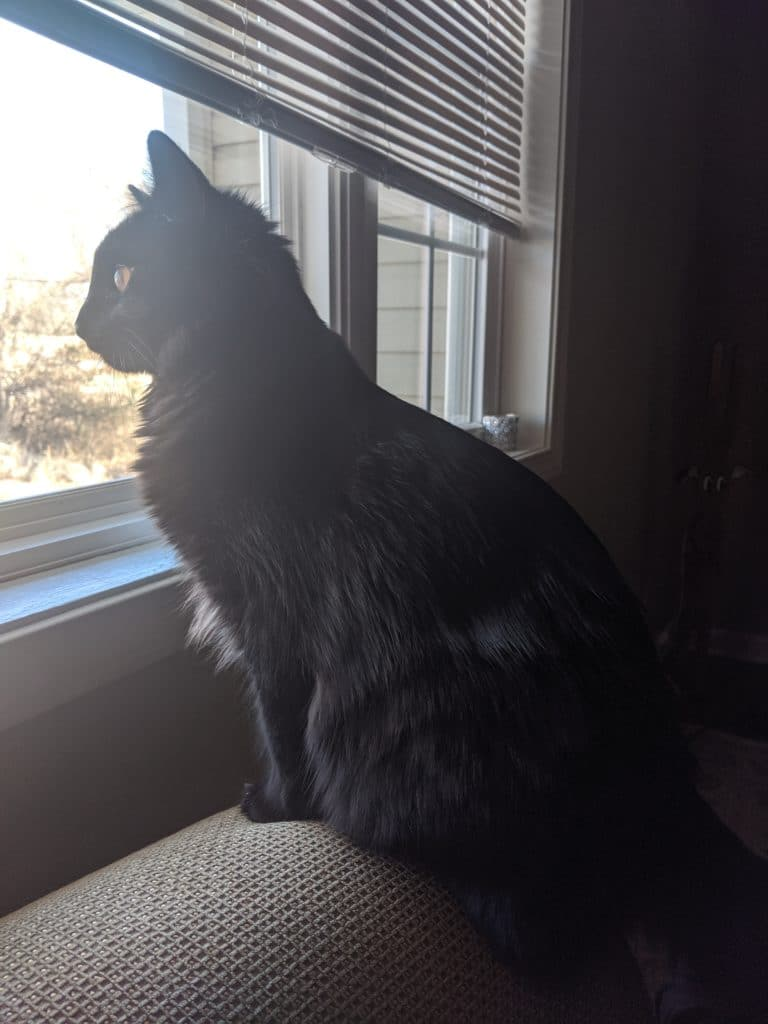 black cat staring out of a window